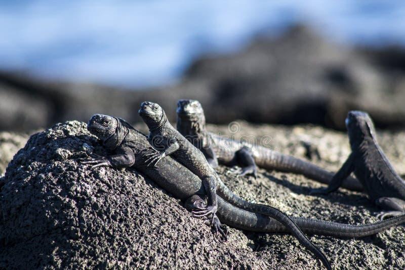 蜥蜴家庭  库存图片