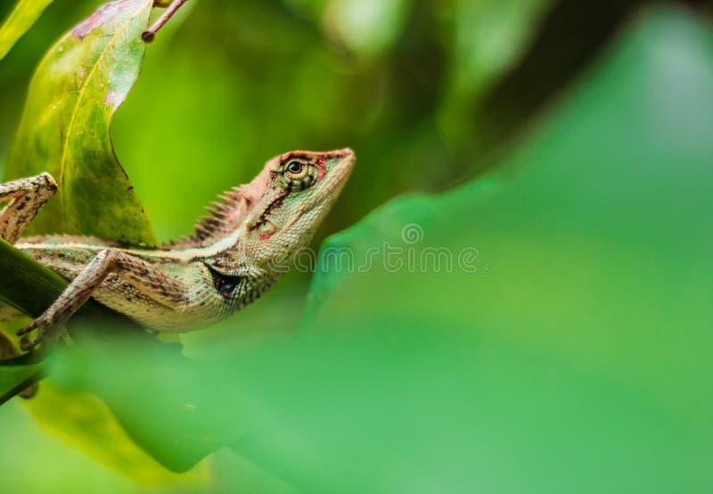 蜥蜴褐色 免版税库存图片