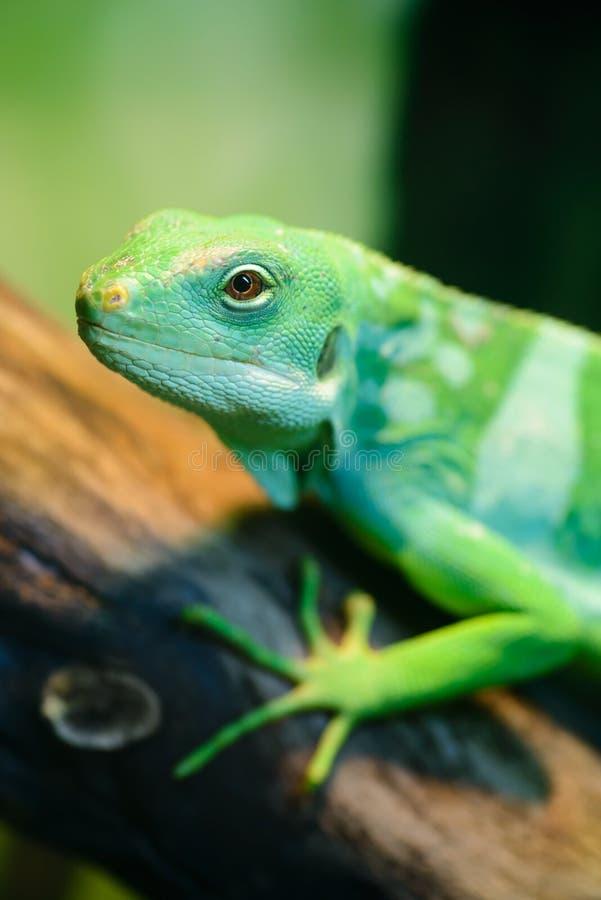 绿蜥蜴,斐济结合了鬣鳞蜥 库存照片
