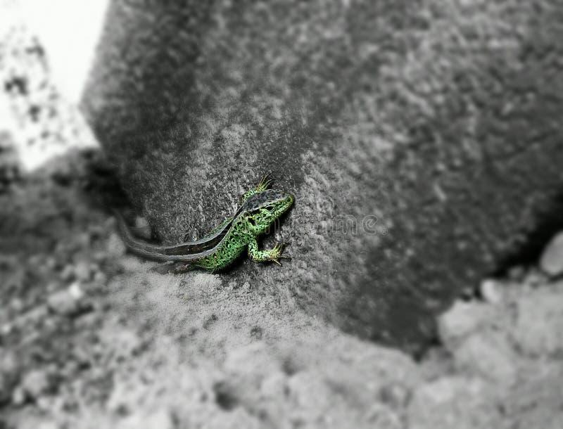 蜥蜴 图库摄影