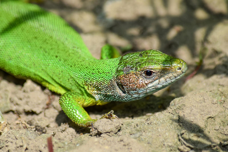 绿蜥蜴 图库摄影