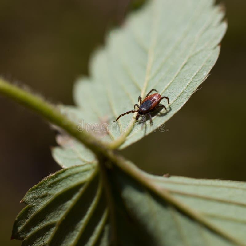 蜱scapularis 免版税库存图片