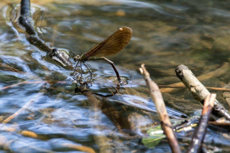 蜻蜓下鸡蛋在水,照片的关闭下 免版税库存图片