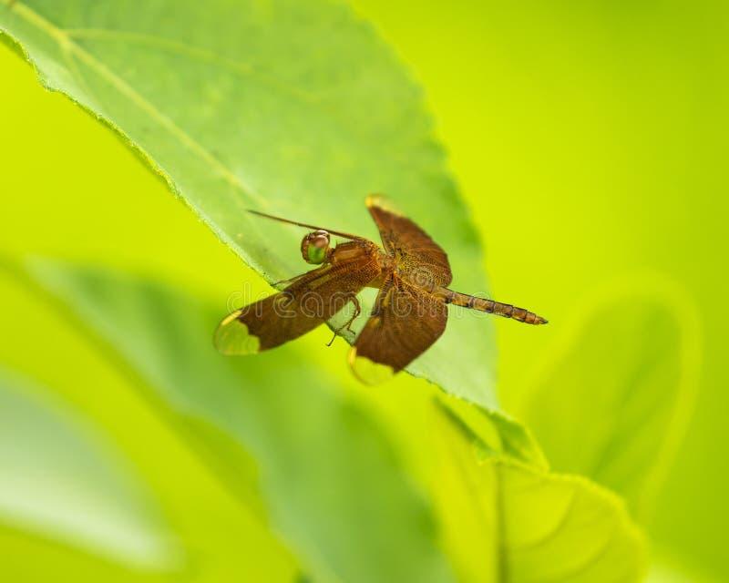 蜻蜓坐一片叶子有绿色模糊的背景 库存图片