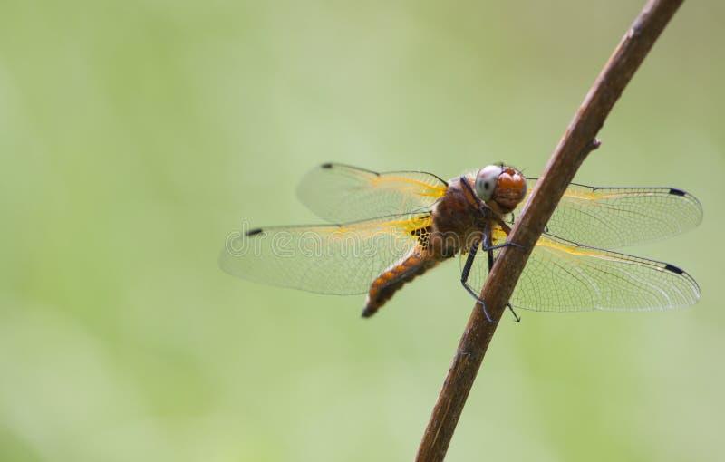 蜻蜓宏观照片在夏日 免版税库存照片