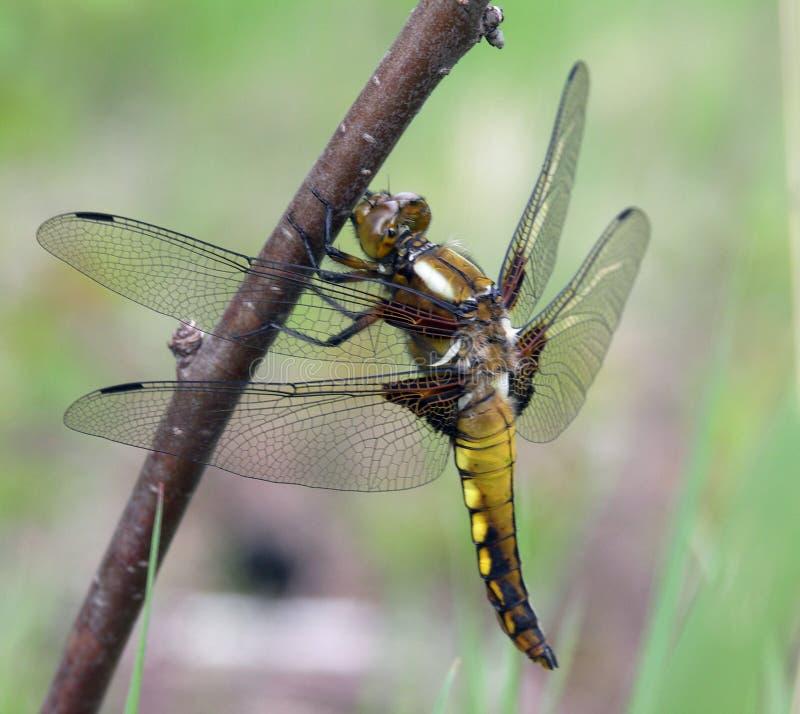 蜻蜓宏观照片 库存图片