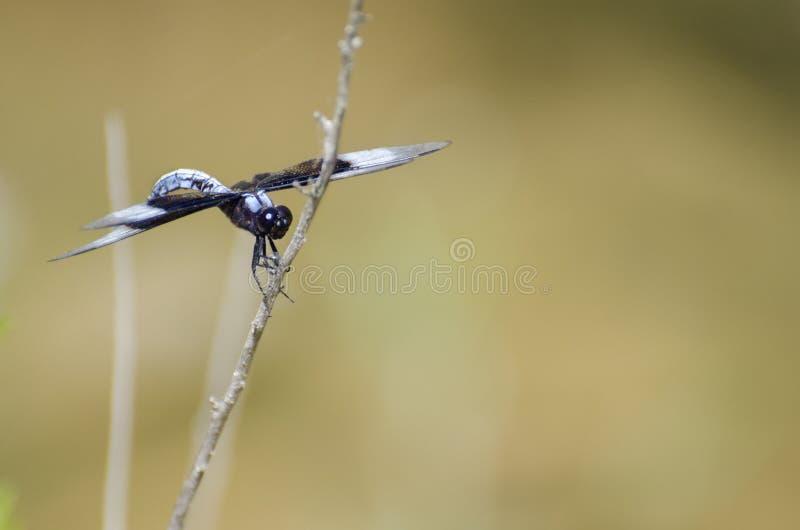 蜻蜓寡妇漏杓,漂流木头得克萨斯 库存图片
