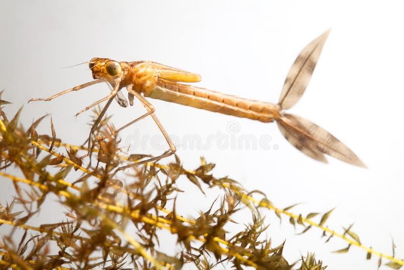 蜻蜓幼虫 免版税库存图片