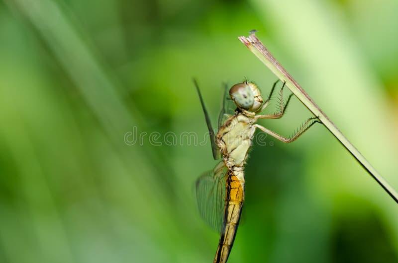 Download 蜻蜓庭院 库存照片. 图片 包括有 照亮, 节肢动物, 蜻蜓, 蜂声, 详细资料, 昆虫, 的百威, 绿色 - 22356454