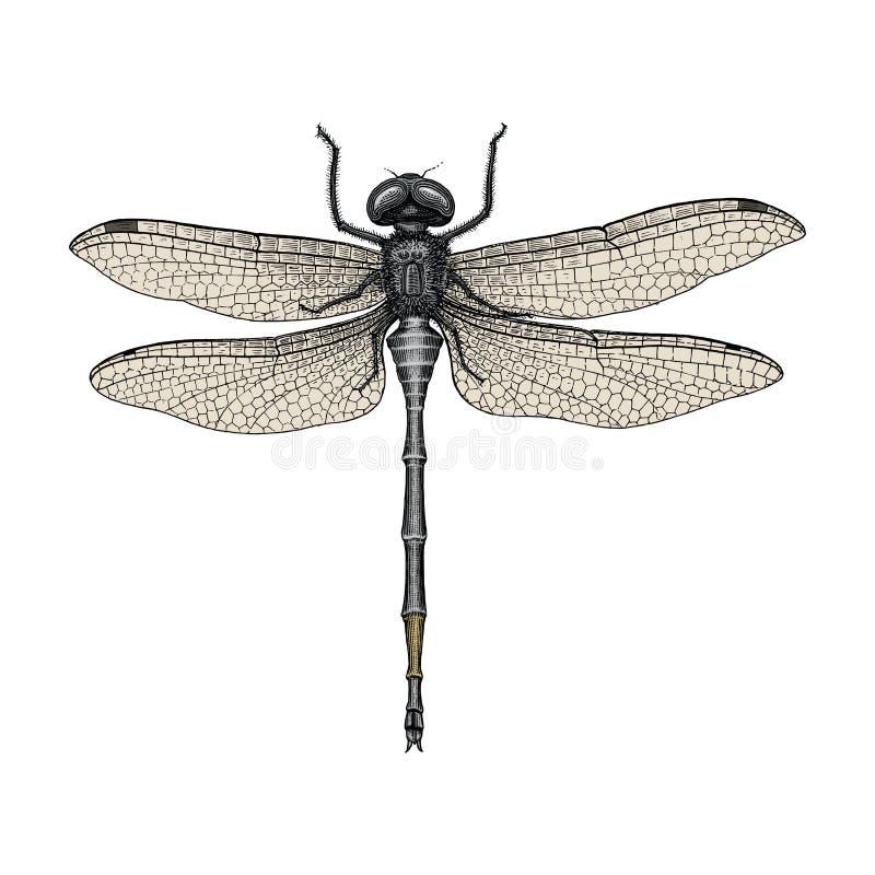 蜻蜓手图画葡萄酒板刻例证 皇族释放例证