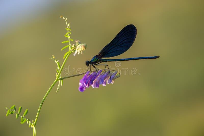 蜻蜓早晨露水花的Calopteryx处女座在准备的夏天见面一新的天 免版税图库摄影