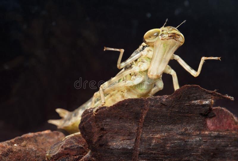 蜻蜓昆虫幼虫食肉动物的游泳 免版税库存图片