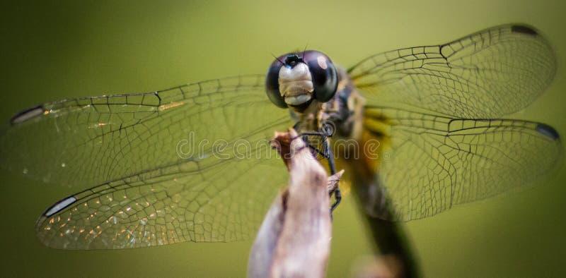 蜻蜓极端特写镜头 免版税库存图片