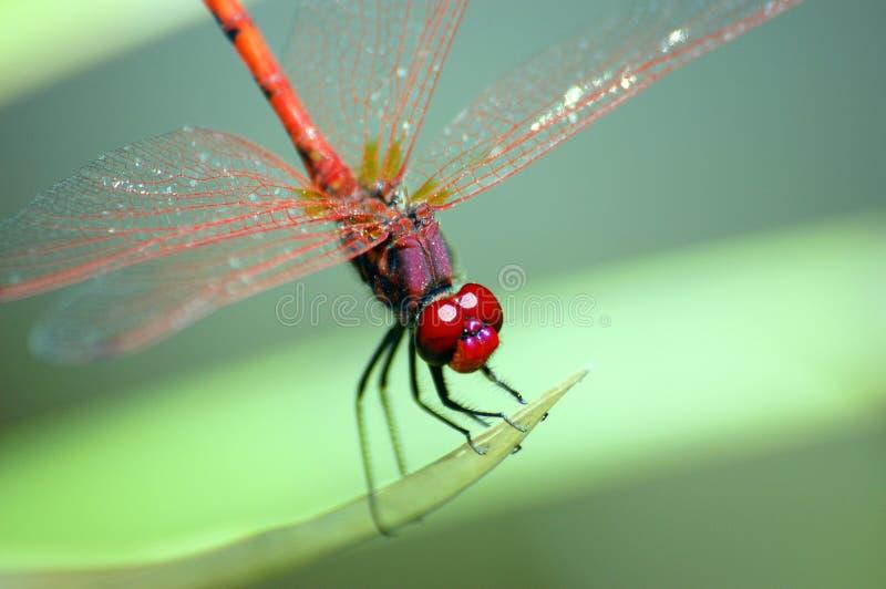 蜻蜓注视红色 免版税库存照片