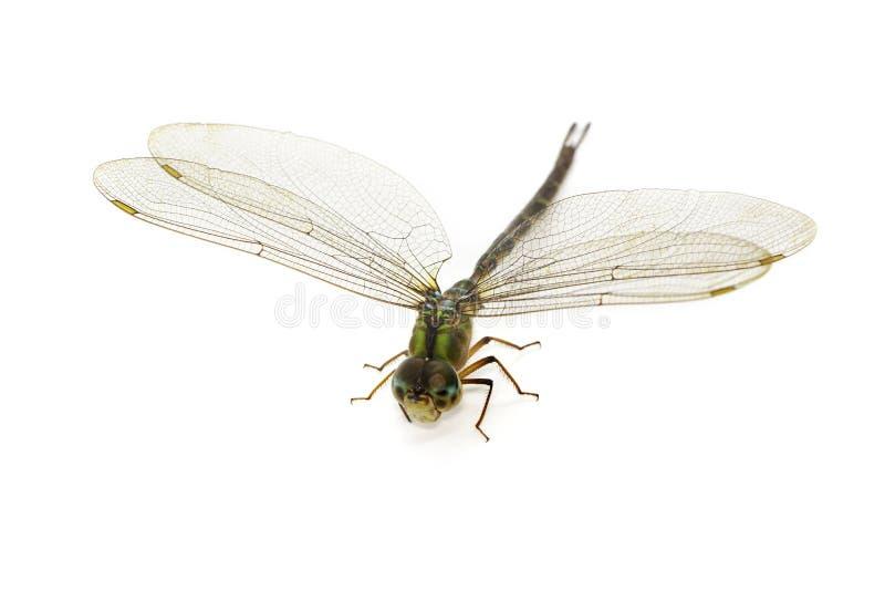 蜻蜓的图象在白色背景的 透明有翼昆虫 ?? ?? 免版税库存图片