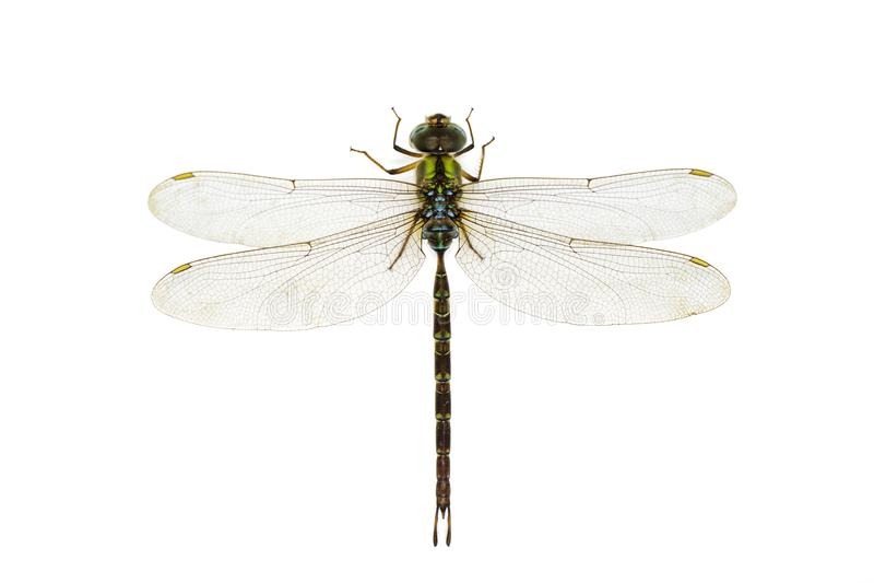 蜻蜓的图象在白色背景的 透明有翼昆虫 ?? ?? 免版税图库摄影