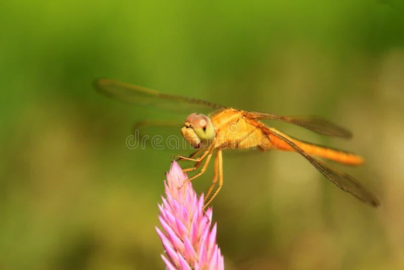 蜻蜓着陆接近的射击在顶面花的 免版税库存照片