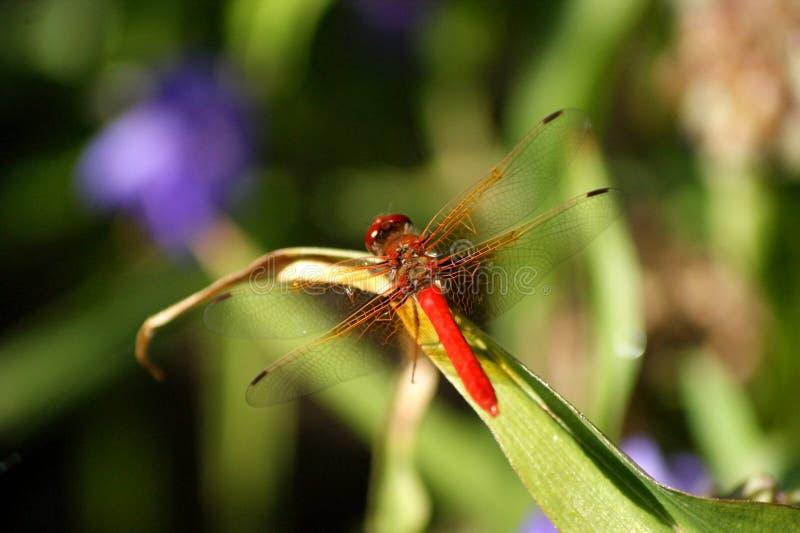 蜻蜓红色 免版税库存照片