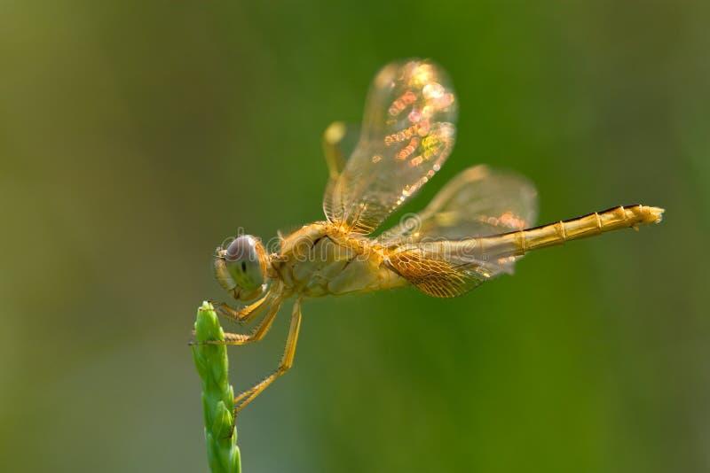 蜻蜓走路的翼 库存照片