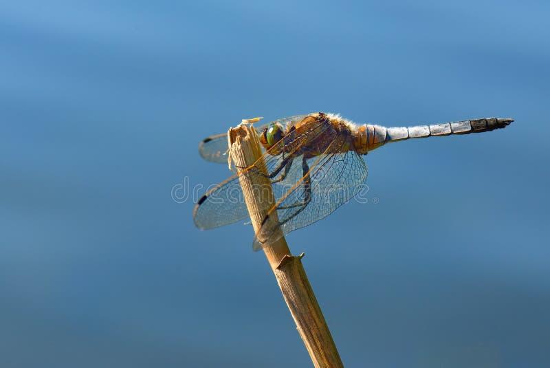 蜻蜓-清楚有驱体的追赶者 库存图片