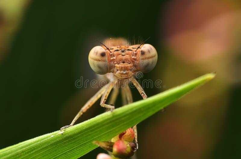 蜻蜓(Caenagrion) 库存照片