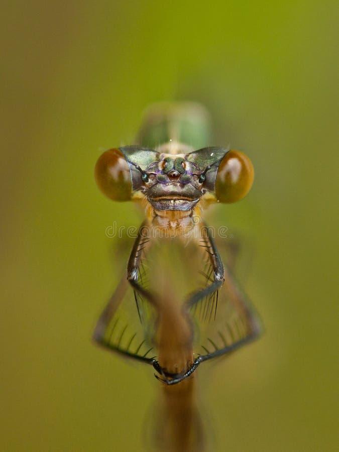 蜻蜓Coenagrion画象  图库摄影