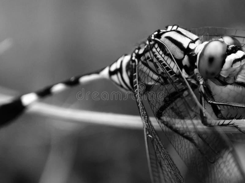 蜻蜓ine黎明 库存图片