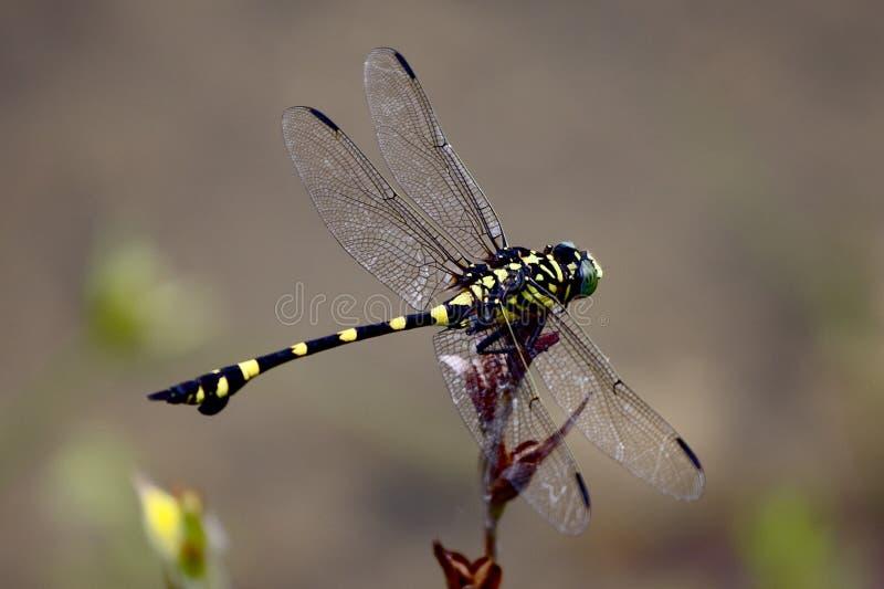 蜻蜓ischnura senegalensis 免版税库存照片