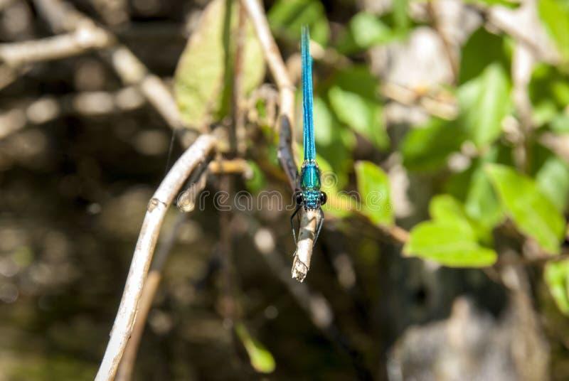 蜻蜓Libellula 免版税库存照片