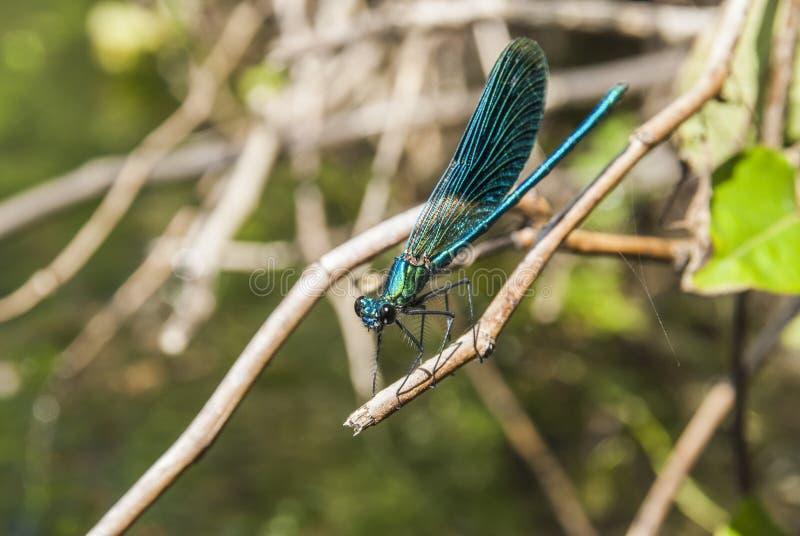 蜻蜓Libellula 免版税图库摄影