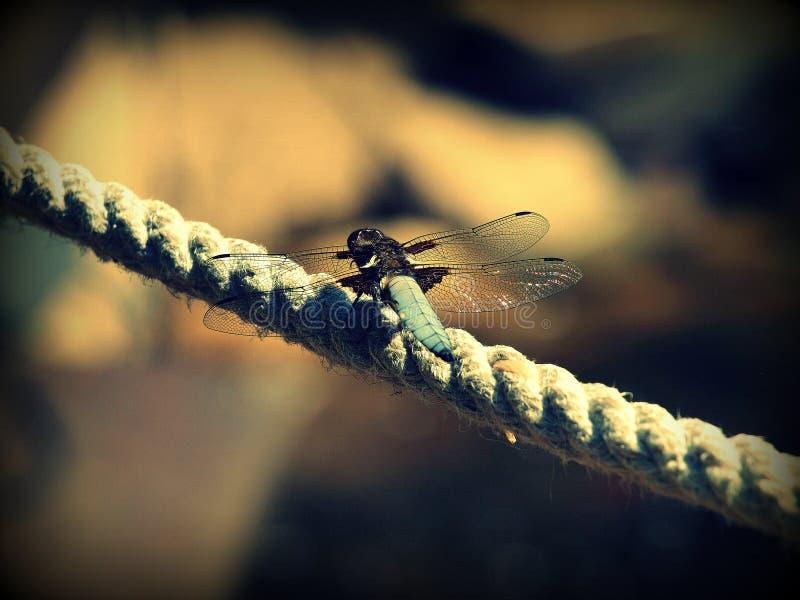 蜻蜓Libellula depresa 免版税图库摄影
