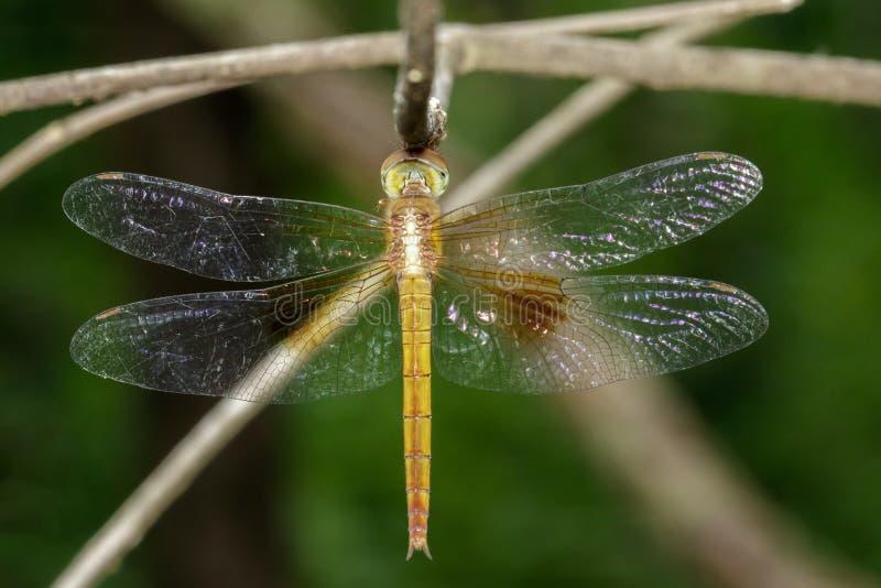 蜻蜓neurothemis intermedia atalantafemale的图象 图库摄影