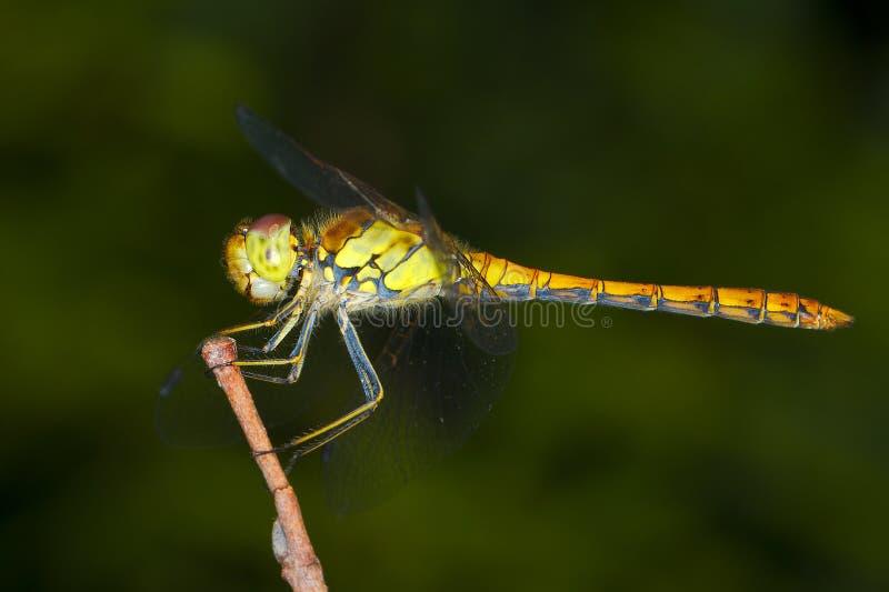 蜻蜓striolatum sympetrum黄色 图库摄影