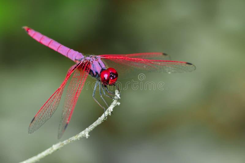 蜻蜓Trithemis极光的图象在自然背景的 免版税库存照片