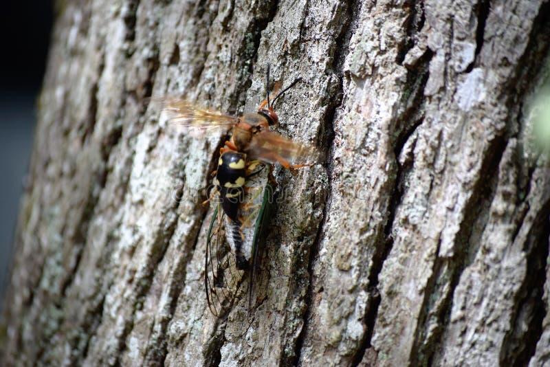蝉凶手黄蜂 库存图片