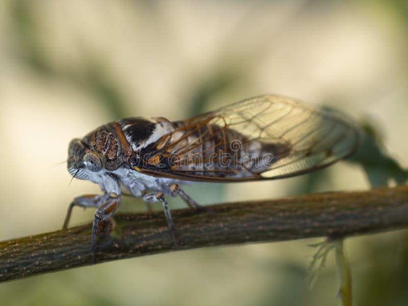蝉科在树枝的蝉特写镜头 免版税库存照片