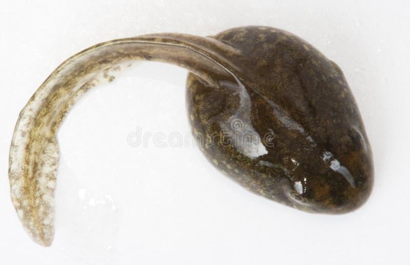 蝌蚪 免版税图库摄影