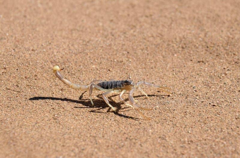 蝎子在沙漠 免版税图库摄影