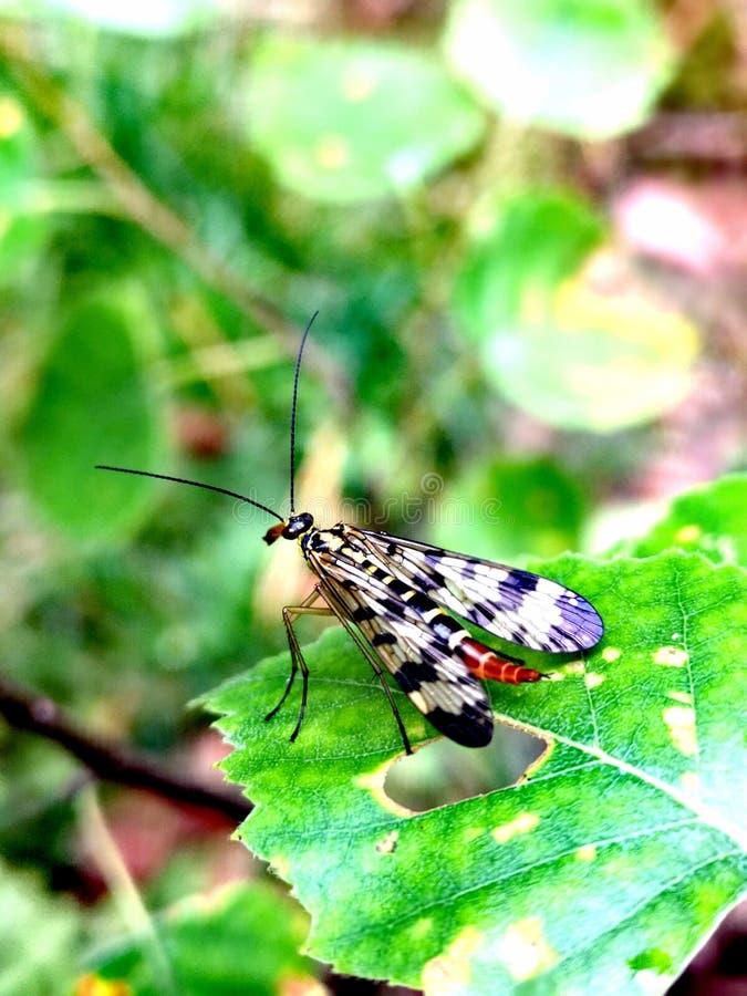 蝎子飞行Mecoptera草本种属的Panorpa 免版税库存图片