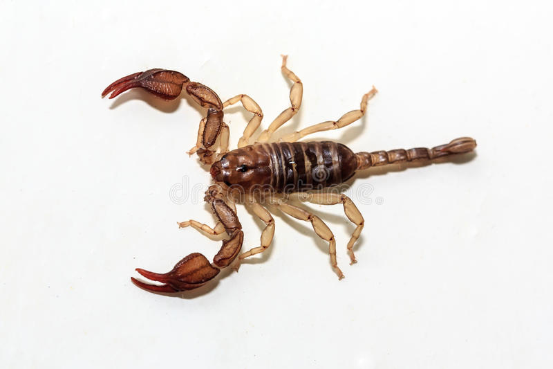 蝎子 图库摄影