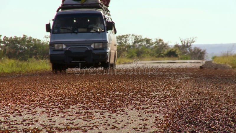 蝗虫入侵在马达加斯加 数百万蚂蚱在迁移时在路被击碎了 库存图片