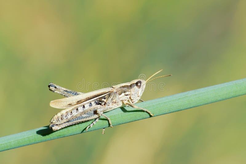 蝗虫意象 库存照片