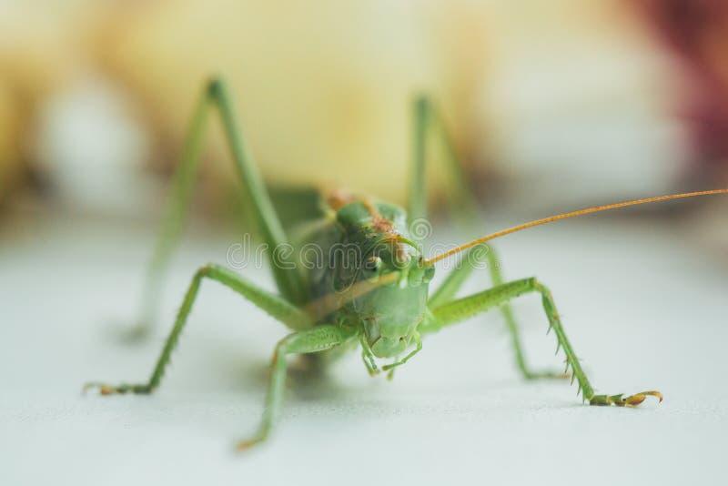 蝗虫或蚂蚱在一个白色桌特写镜头在被弄脏的背景 在宏指令的活绿色害虫 katydid r 免版税库存照片