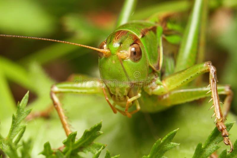 蝗虫朝向 免版税图库摄影