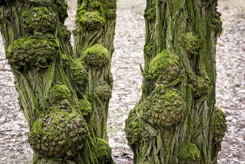 黑蝗虫树老和粗糙的树干看法  免版税图库摄影