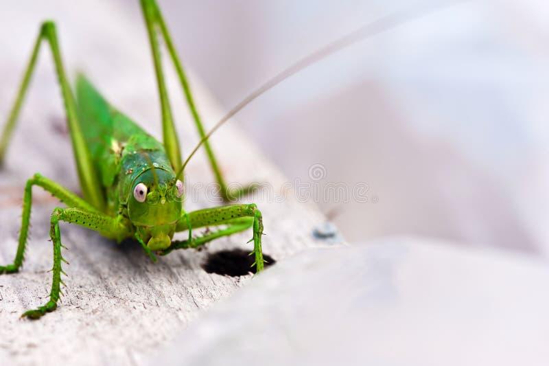 蝗虫特写镜头 免版税库存照片