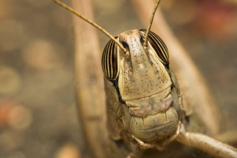 蝗虫纵向 免版税库存图片