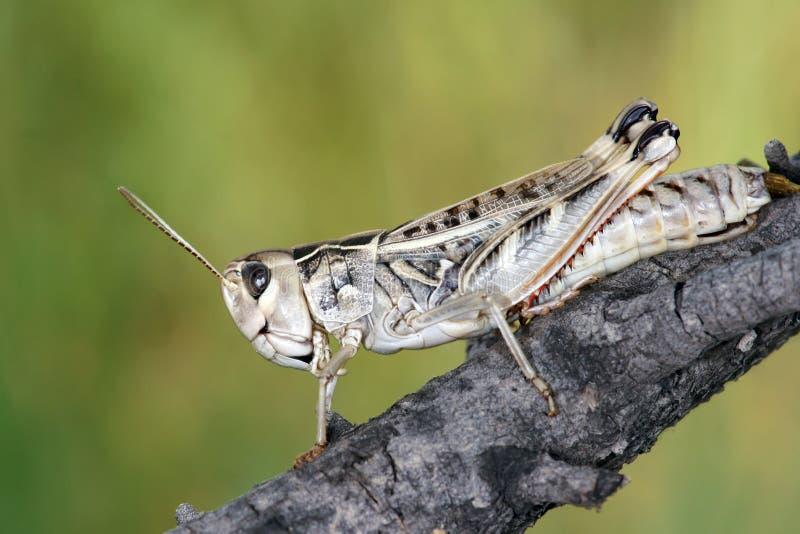 蝗虫 免版税库存照片