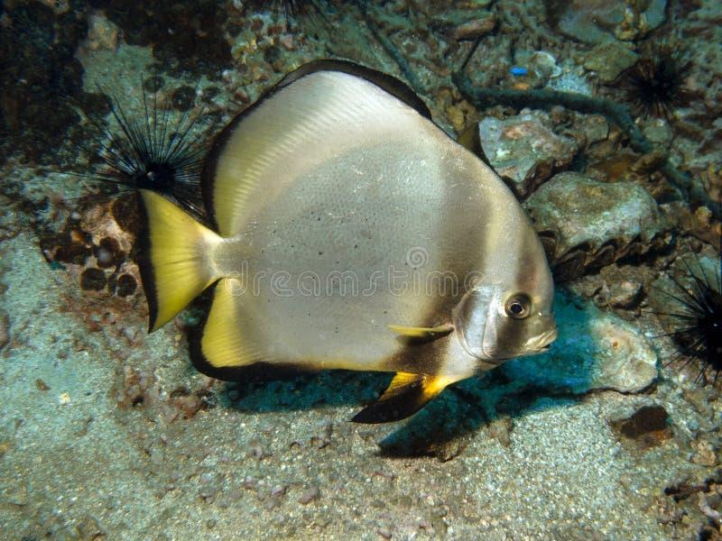 蝙蝠鱼鳍类的pinnatus platax 库存照片