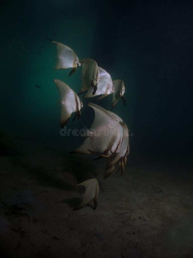 蝙蝠鱼鳍类的pinnatus platax 库存图片